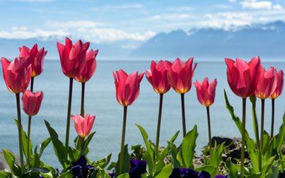 La fête de la tulipe
